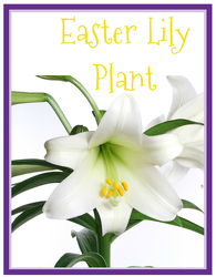 Easter Lily from Monrovia Floral in Monrovia, CA