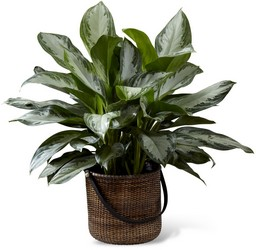 The FTD Chinese Evergreen from Monrovia Floral in Monrovia, CA