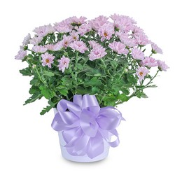 Lavender Chrysanthemum in Ceramic Container from Monrovia Floral in Monrovia, CA