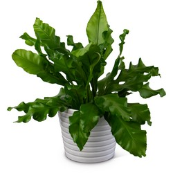 Bird's Nest Fern from Monrovia Floral in Monrovia, CA