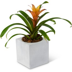 Bromeliad Mini from Monrovia Floral in Monrovia, CA