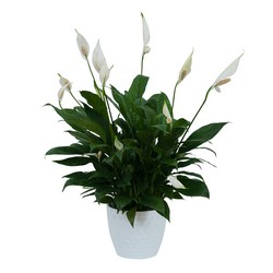Peace Lily Plant in White Ceramic Container from Monrovia Floral in Monrovia, CA