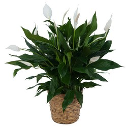 Peace Lily Plant in Basket from Monrovia Floral in Monrovia, CA