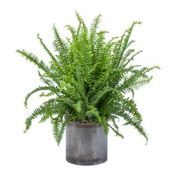 Fern from Monrovia Floral in Monrovia, CA